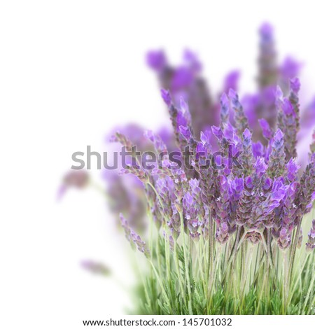 Lavender field flowers isolated on white background - stock photo