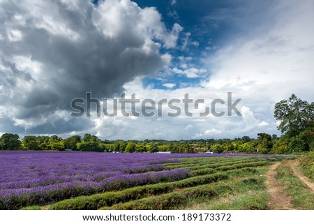 Lavender field in full bloom in Banstead - stock photo