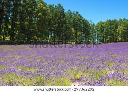 Lavender field in Furano, Hokkaido - stock photo