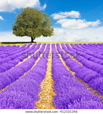 Lavender field in Provence - stock photo