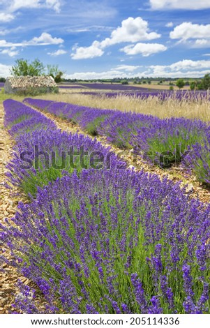 Lavender field in Provence with cloudy sky, France