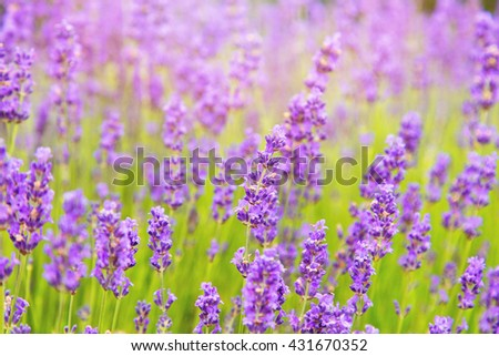 Lavender field in summer - stock photo