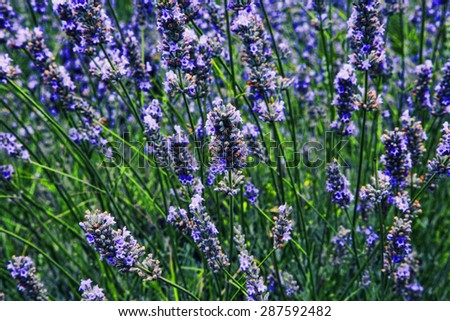 Lavender field in the summer in Provence, southern France - stock photo