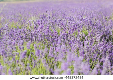 Lavender field in the summer time