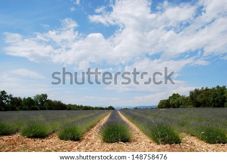 Lavender field landscape in Provence, France - stock photo