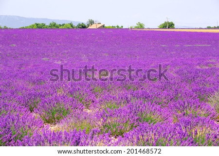lavender field, lilac color, Plateau de Valensole, Provence, France - stock photo