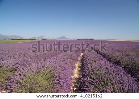 lavender field-Plateau Valensole-France