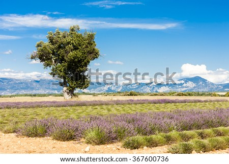 lavender field with a tree, Plateau de Valensole, Provence, France - stock photo