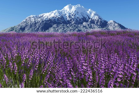 Lavender field with blue sky and mountain cover with snow - stock photo