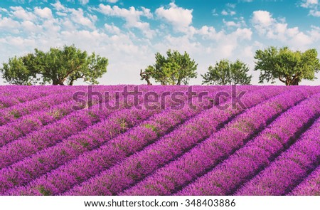 Lavender field with lilac rows of lavender, trees and clouds on the sky, Plateau de Valensole, Provence, France