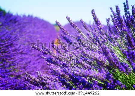 Lavender field with summer blue sky close up, France, retro toned - stock photo