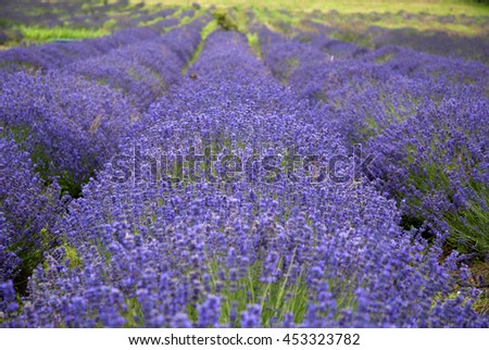 Lavender field with the beautiful purple flowers in rows. - stock photo