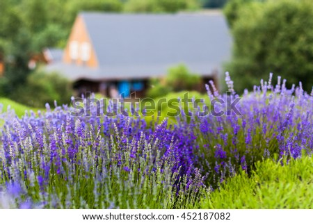 Lavender field with the building in the background.