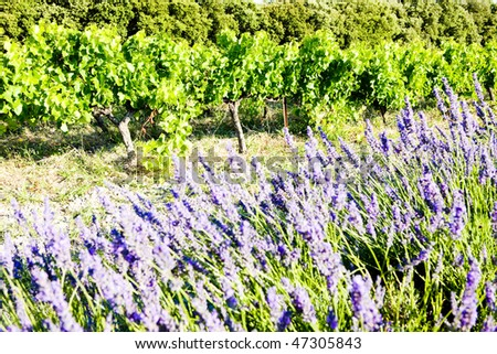 lavender field with vineyard, Drome Department, Rhone-Alpes, France - stock photo