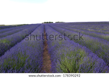 Lavender fields in July