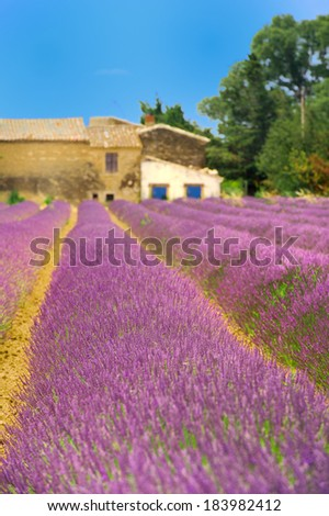 Lavender fields in landscape of  French Luberon