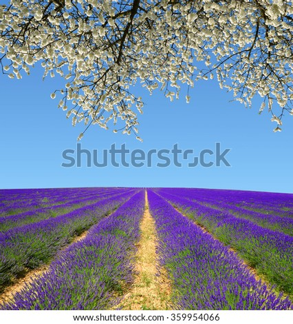 Lavender fields in Provence - France, Europe. - stock photo