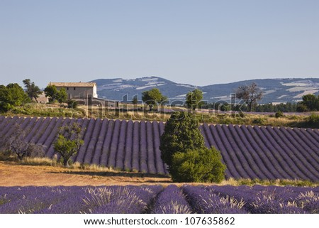 Lavender fields near to Ferrassieres in the Drome.