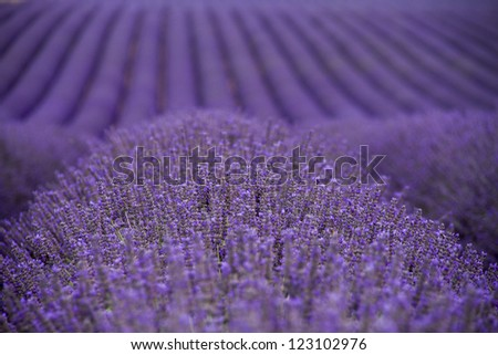 Lavender fields  near Valensole in Provence, France - stock photo