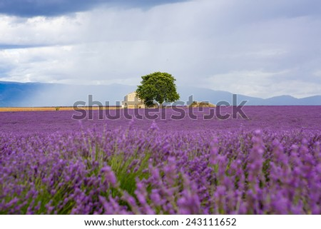 Lavender fields near Valensole in Provence, France. Rows of purple flowers. Famous, popular destination and place for tourists for making vacations in summer. On rainy day with rain.