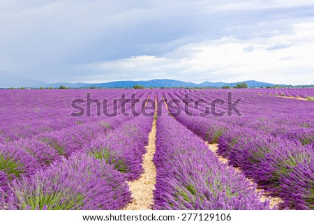 Lavender fields near Valensole in Provence, France. Rows of purple flowers. Famous, popular destination and place for tourists for making vacations in summer. On rainy day