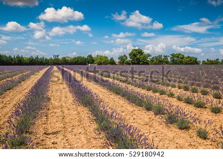 Lavender fields near Valensole in Provence, France. Rows of purple flowers. Famous, popular destination and place for tourists for making vacations in summer