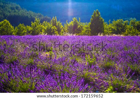 Lavender fields of the French Provence - stock photo