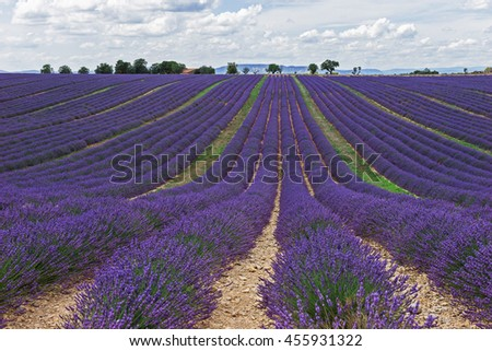 Lavender fields. Provence