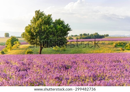 Lavender fields with lonely tree near Valensole in Provence, France on sunset. Beautiful view on rows and provencal houses. Popular place for traveling and tourists in summer.