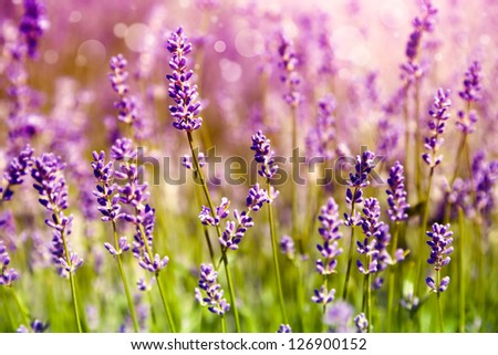 Lavender floral background - stock photo