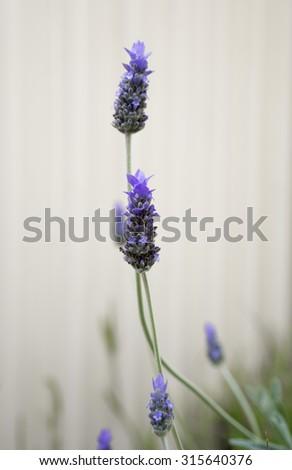Lavender Flower against a cream wall, selective focus, closeup - stock photo