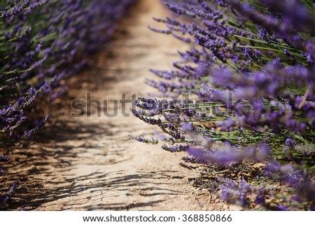 Lavender flower blooming fields in Provence, France - stock photo
