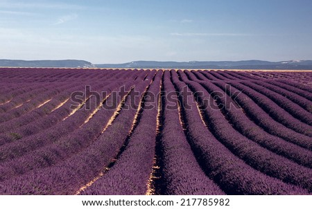 Lavender flower blooming fields. Landscape in Valensole plateau, Provence, France - stock photo