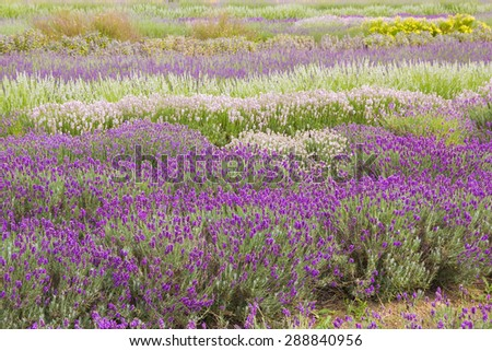 Lavender flower blooming scented fields in endless rows.