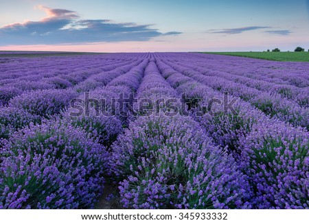 Lavender flower blooming scented fields in endless rows. Sunset field.