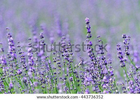 Lavender flower in the field at Biei, Hokkaido, Japan. - stock photo