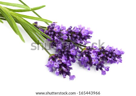 lavender flower isolated  - stock photo