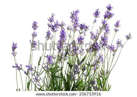 lavender flower isolated on white  - stock photo
