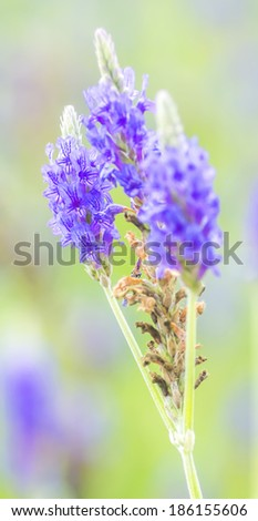 Lavender flower macro with selective focused and bokeh background - stock photo