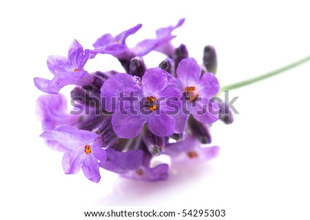 lavender flower on the white background - stock photo