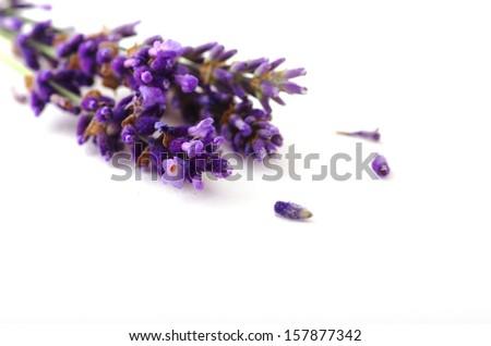 lavender flower on white background - stock photo