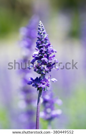lavender flower selective focus with shallow depth of field - stock photo