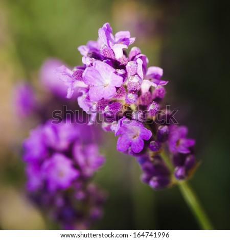 Lavender flowers - stock photo