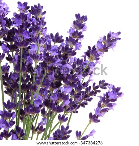 Lavender flowers against white background. Isolated object. - stock photo
