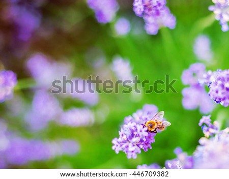 Lavender flowers and bee - floral background
