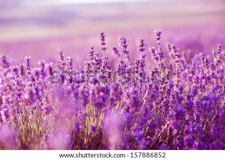 Lavender Flowers. Aromatherapy. - stock photo