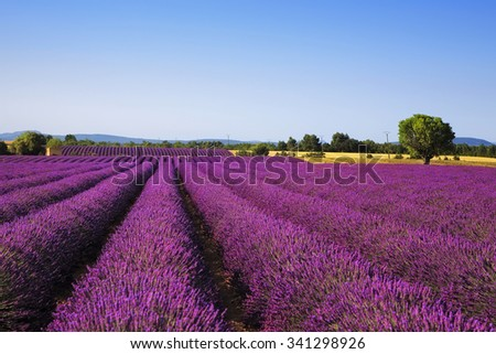 Lavender flowers blooming field and a lonely tree.Valensole, Provence, France, Europe.