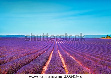 Lavender flowers blooming field and clear sky. Valensole, Provence, France, Europe.