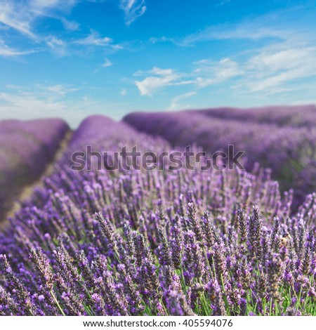 Lavender flowers blooming flowers with summer blue sky, Provence, France - stock photo