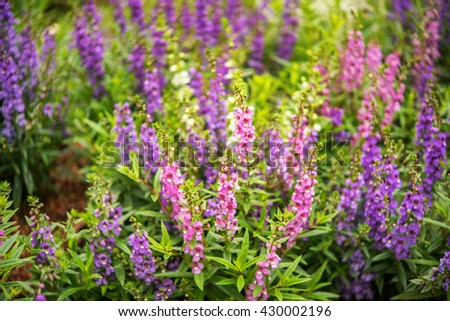 Lavender flowers blooming in a field during summer with selective focus and blurry background - stock photo